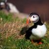Atlantic Puffin, Saltee Islands, Wexford