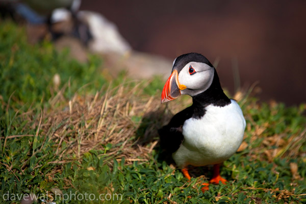 Atlantic Puffin, Saltee Islands, Wexford